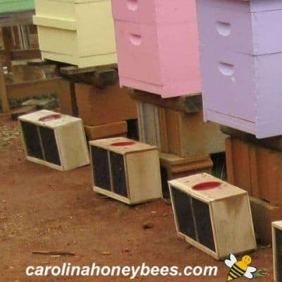 honey bee packages bought for colorful hives