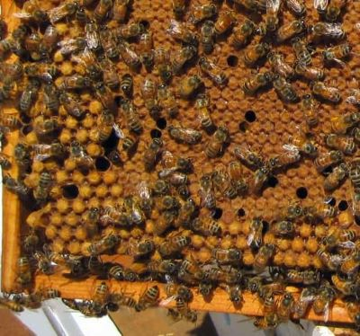 Capped brood in a bee hive