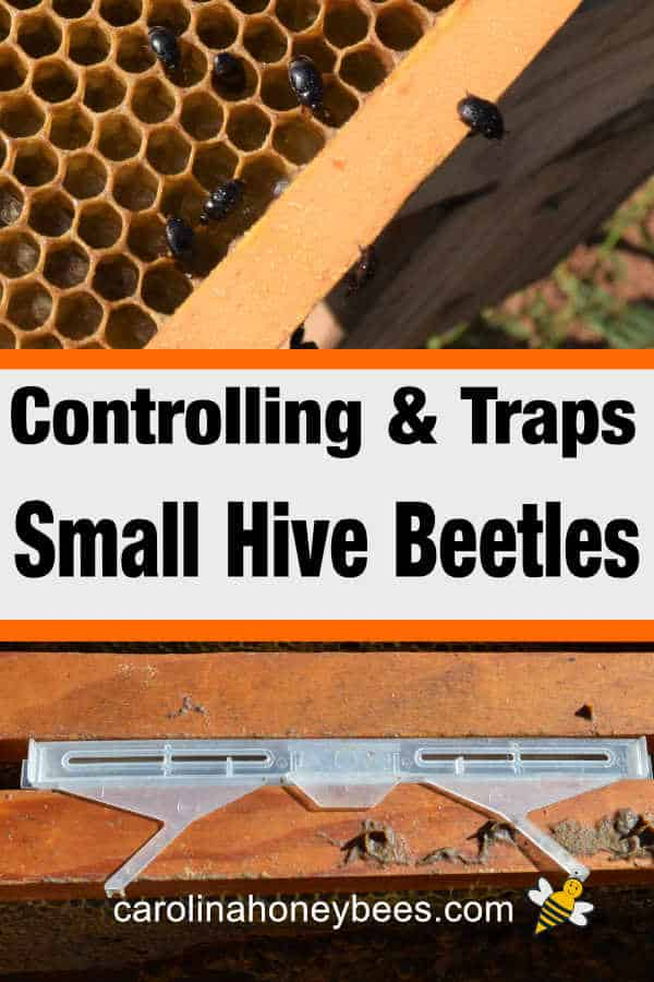 small hive beetles in hive - controlling & traps small hive beetles