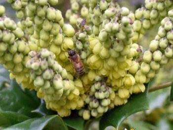 image of blooming mahonia bush with honey bee