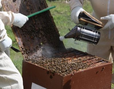 Beekeepers inspecting a strong beehive with smoker image.
