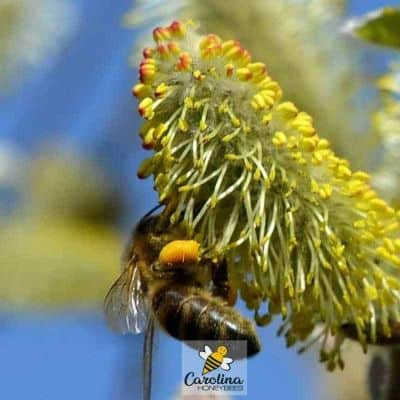 picture of honey bee collecting pollen from flower