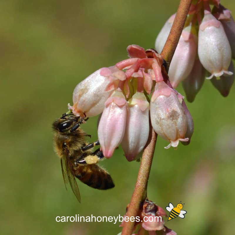 honey bee on blueberry bloom