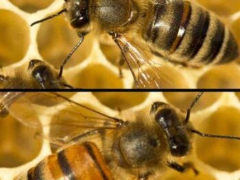 color variations in 2 types of honey bees