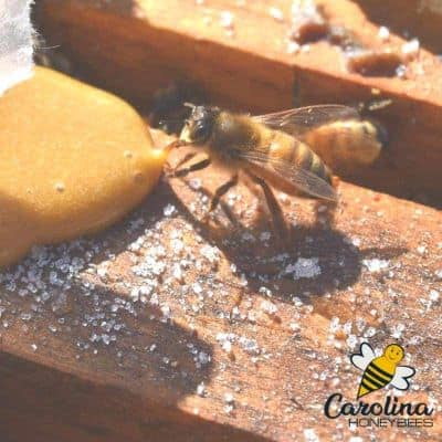 honey bee eating pollen patty in hive