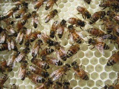 worker honey bees on white comb