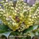 mahonia bush for bees