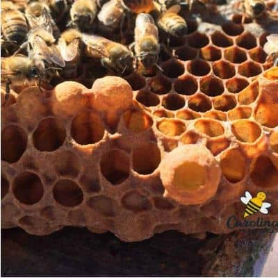 picture of a queen cup with a larva becomes a queen cell in the hive