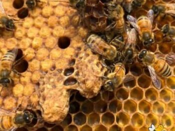 queen honey bee swarm cells on frame
