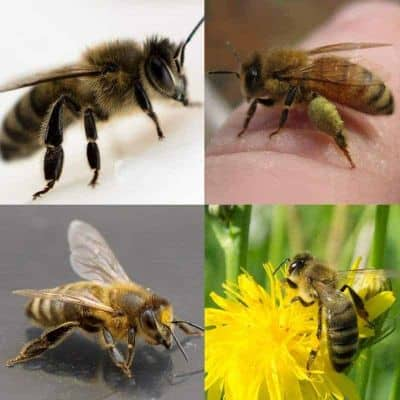 different races of honey bees