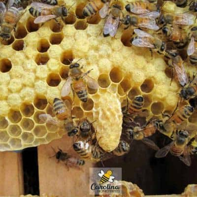 picture of a single honey bee queen cell hanging on a frame in the hive