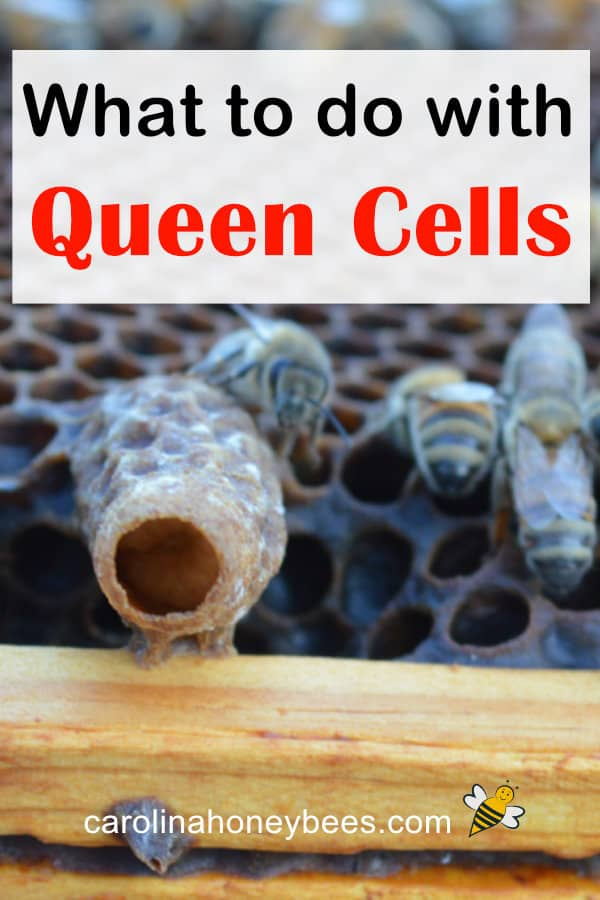 queen cell in a beehive - what to do with queen cells