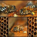 honey bees in a beehive