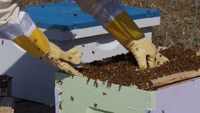 Beekeeper wearing beekeeping gloves to protect hands image.