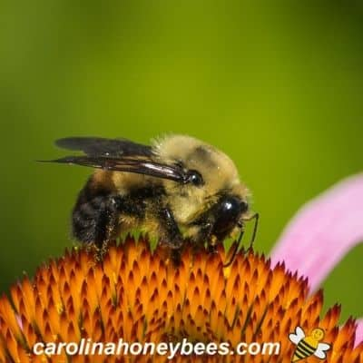 picture of a bumble bee gathering plant nectar