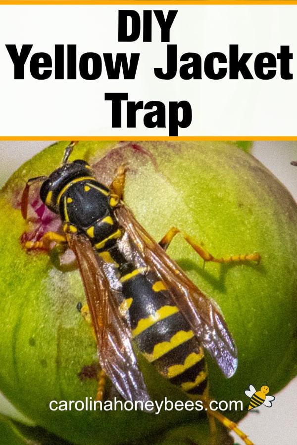 yellow jacket wasp - diy yellow jacket trap