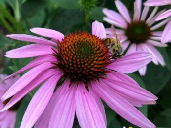 picture of honey bee on perennial cone flowers