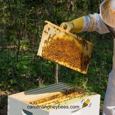 Backyard Beekeeping as a Hobby