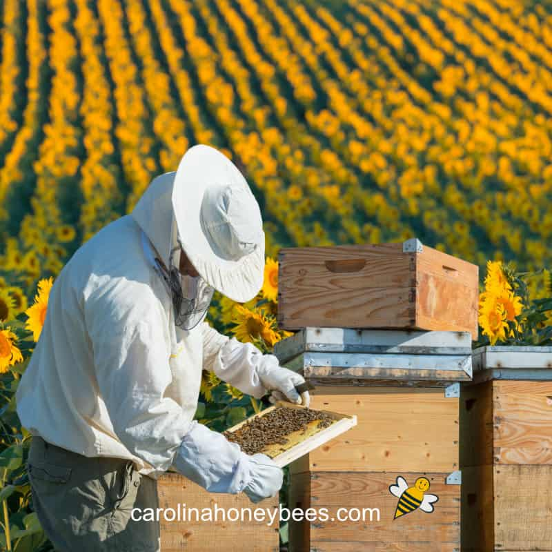 beekeeper inspecting hive in an apiary near a sunflower field
