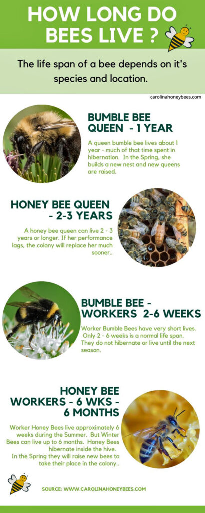 How long do bees live infographic image.
