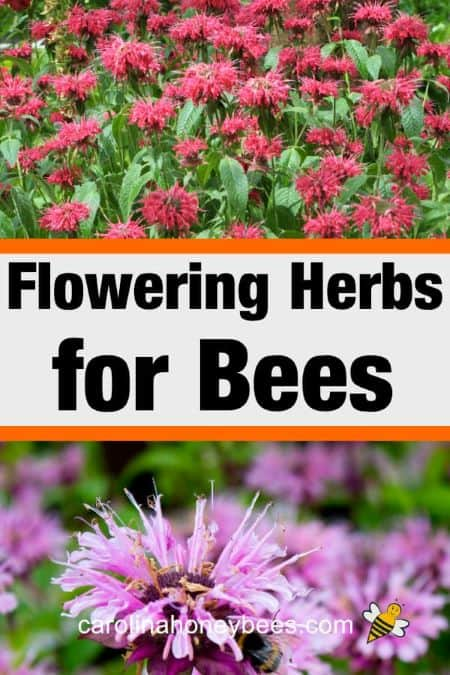 yellow and purple monarda - flowering herbs for bees