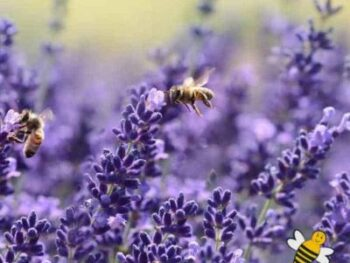 the flowering herb lavender with bees