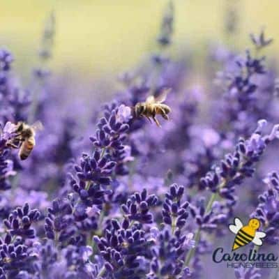 Best Flowering Herbs for Bees