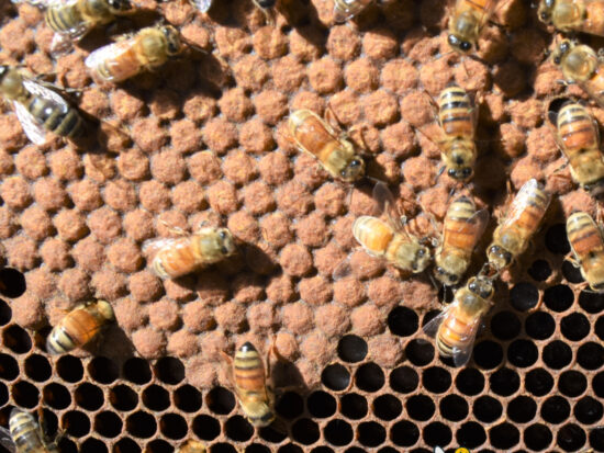 capped bee brood in a beehive