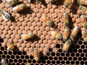 picture of bee brood on a frame of honeycomb in a hive