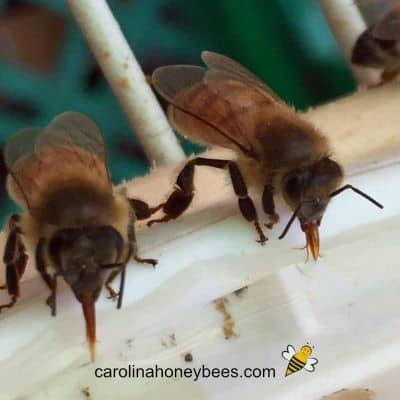2 honey bees drinking sugar water from feeder