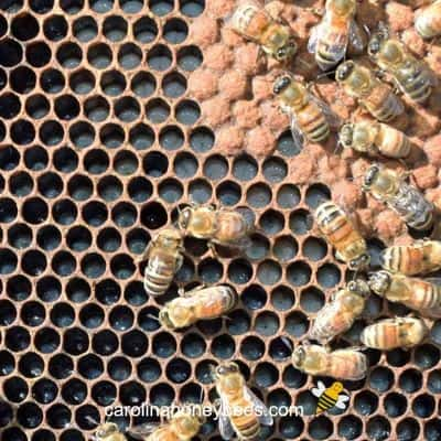 picture of honey comb filled with bee larvae or milk brood