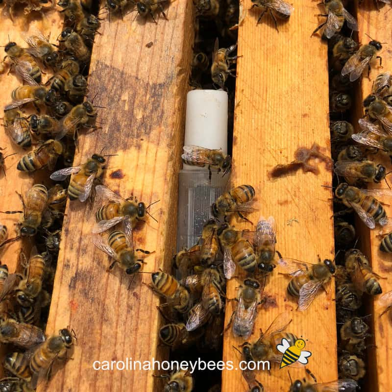 installing a package queen bee in a hive using a plastic queen cage