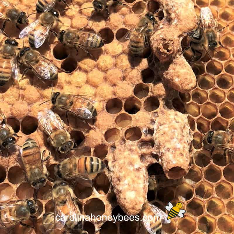 queen cells on a brood frame in a beehive