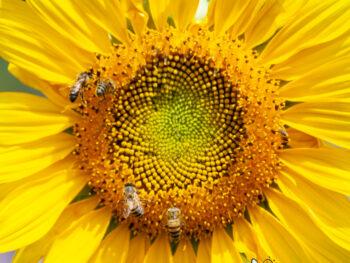 yellow sunflower with honey bees