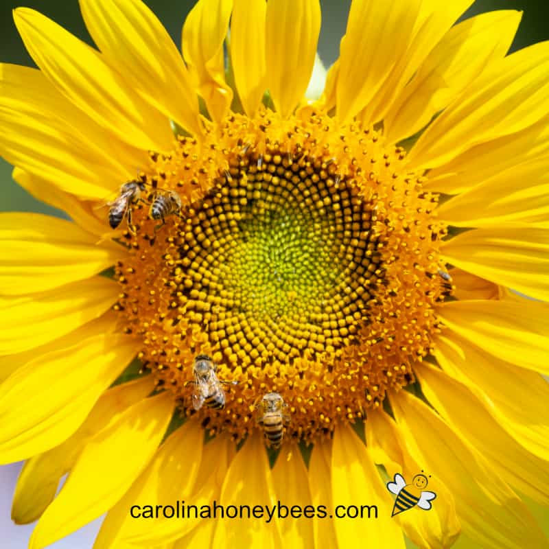 yellow sunflowers with honey bees