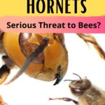 picture of asian giant hornet and honey bee