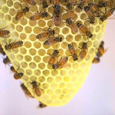 Worker bees on wedge of wax comb
