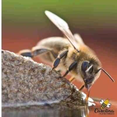 image of honey bee with proboscis extended into drinking water