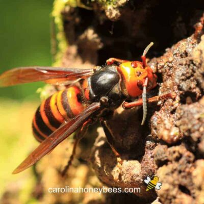 picture of vespa giant asian hornet