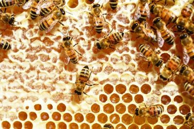 Bees capping honey for harvest image.