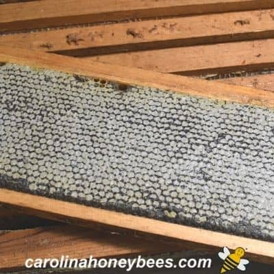 capped frame of honey that has been harvested from hive