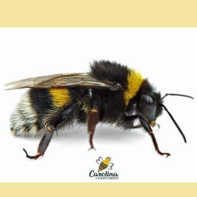 Adult bumble bee image.