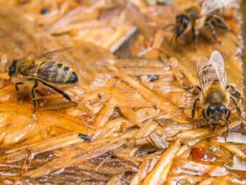 picture of honey bees drinking water