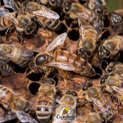 Long lived queen bee in hive with worker bees image.