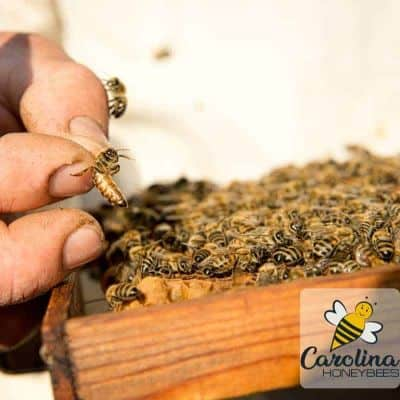 Requeening a Hive – The Best Techniques