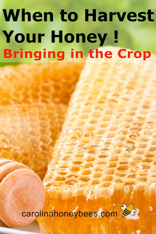 golden honey comb - when to harvest honey - bringing in the crop