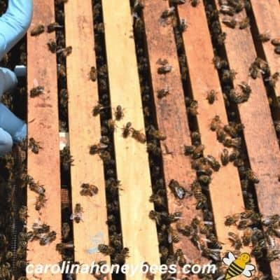 queen cage installed in hive between frames