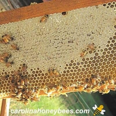 bees and frame from hive with honey