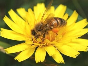 honey bee collecting pollen from yellow flower