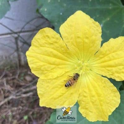 Planting for Bees : The Luffa Experience